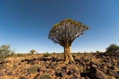 Foresta dell'albero del fremito - Nambia Fotografie Stock Libere da Diritti