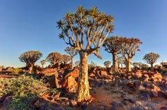 Foresta dell'albero del fremito - Nambia Immagine Stock Libera da Diritti