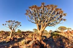 Foresta dell'albero del fremito - Nambia Immagini Stock Libere da Diritti