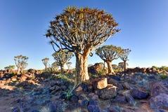 Foresta dell'albero del fremito - Nambia Immagine Stock