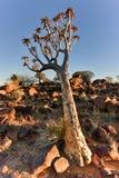 Foresta dell'albero del fremito - Nambia Fotografie Stock