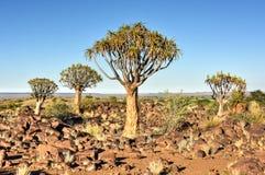 Foresta dell'albero del fremito - Nambia Immagini Stock