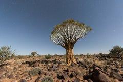 Foresta dell'albero del fremito - Nambia Fotografia Stock Libera da Diritti