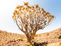 Foresta dell'albero del fremito in Namibia Immagini Stock