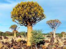 Foresta dell'albero del fremito, sera, vicino a Keetmanshoop, la Namibia Fotografia Stock