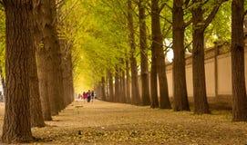 Foresta dell'albero del ginkgo Immagine Stock