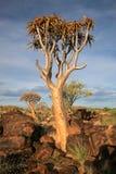 Foresta dell'albero della faretra Immagini Stock Libere da Diritti