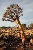 Foresta dell'albero della faretra Immagine Stock Libera da Diritti