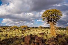 Foresta dell'albero della faretra Immagini Stock