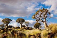 Foresta dell'albero della faretra Fotografia Stock Libera da Diritti