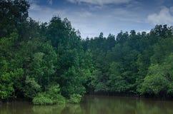Foresta dell'albero della mangrovia in acqua, Tailandia Fotografia Stock Libera da Diritti