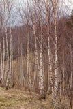 Foresta dell'albero di betulla Fotografia Stock Libera da Diritti