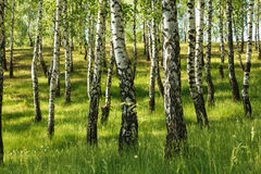 Foresta dell'albero di betulla fotografie stock