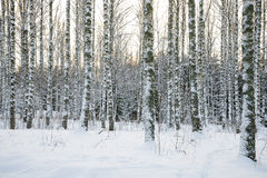 Foresta dell'albero di betulla nell'inverno Fotografie Stock Libere da Diritti