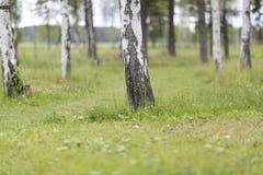 Foresta dell'albero di betulla nella luce morbida Fotografia Stock Libera da Diritti