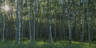 Foresta dell'albero di betulla nella sera soleggiata della molla Fotografie Stock Libere da Diritti