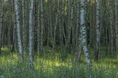 Foresta dell'albero di betulla nella sera soleggiata della molla Fotografia Stock