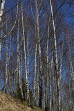 Foresta dell'albero di betulla su cielo blu Immagini Stock Libere da Diritti