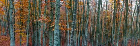 Foresta dell'albero di faggio Fotografie Stock Libere da Diritti