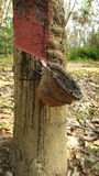 Foresta dell'albero di gomma Immagini Stock Libere da Diritti