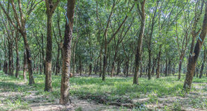 Foresta dell'albero di gomma Immagine Stock