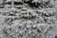 Foresta dell'albero di natale dell'albero di struttura dell'abete Immagine Stock