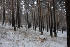 Foresta dell'albero di pini Fotografia Stock Libera da Diritti