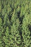 Foresta dell'albero di pino Immagini Stock