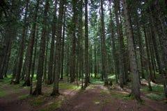 Foresta dell'albero di pino Fotografie Stock