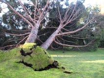 Foresta dell'albero di pino ed albero caduto Immagine Stock Libera da Diritti