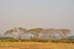 Foresta dell'albero di pioggia Immagine Stock