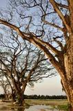 Foresta dell'albero di pioggia Fotografia Stock Libera da Diritti
