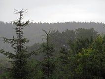 Foresta dell'albero di Spuce nella pioggia immagini stock