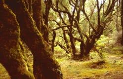 Foresta dell'alloro Immagini Stock