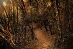 Foresta dell'alloro di Anaga in Tenerife Fotografia Stock Libera da Diritti