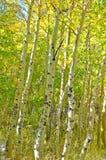 Foresta dell'Aspen Immagine Stock