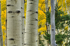 Foresta dell'Aspen Fotografia Stock Libera da Diritti