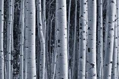 Foresta dell'Aspen Immagini Stock