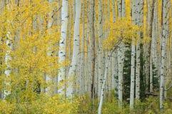 Foresta dell'Aspen di autunno Fotografie Stock