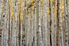 Foresta dell'Aspen nella caduta Immagini Stock Libere da Diritti