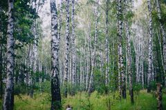 foresta dell'Betulla-albero immagini stock