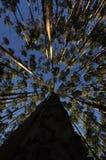 Foresta dell'eucalyptus al Mak del KOH Immagini Stock Libere da Diritti