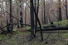 Foresta dell'eucalyptus in Australia che rigenera dopo un fuoco Immagine Stock Libera da Diritti