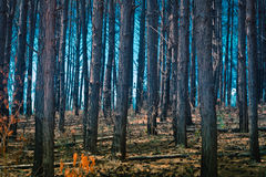 Foresta dell'eucalyptus in nebbia, Brasile Fotografie Stock