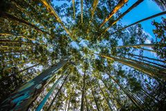Foresta dell'eucalyptus in ooty Immagine Stock