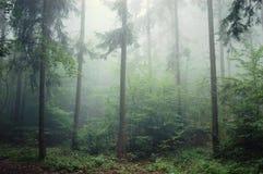 foresta dell'Pino-albero con nebbia Fotografia Stock