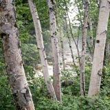 Foresta della betulla Immagine Stock Libera da Diritti