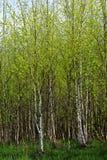 Foresta della betulla Fotografia Stock Libera da Diritti