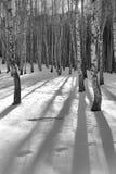 Foresta della betulla Fotografie Stock