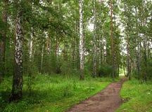 Foresta della betulla Immagini Stock Libere da Diritti